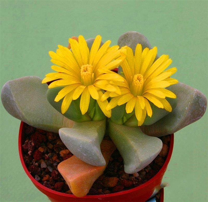 Big-Sale-100garden-Pack-Best-rare-Cactus-Flower-bonsai-giant-shape-heat-tolerant-Succulent-Perennial-plant.jpg