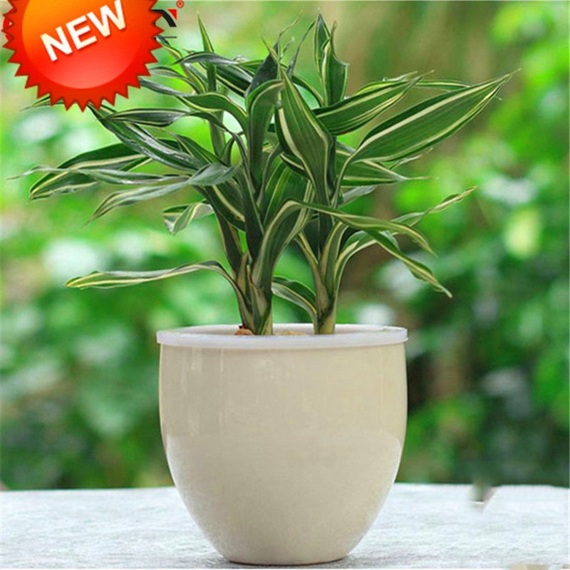 Loss-Promotion-Rare-Silver-Heart-Lucky-Bamboo-bonsai-Absorb-Dust-Tree-plant-Anti-Radiation-Dracaena-Home (3).jpg